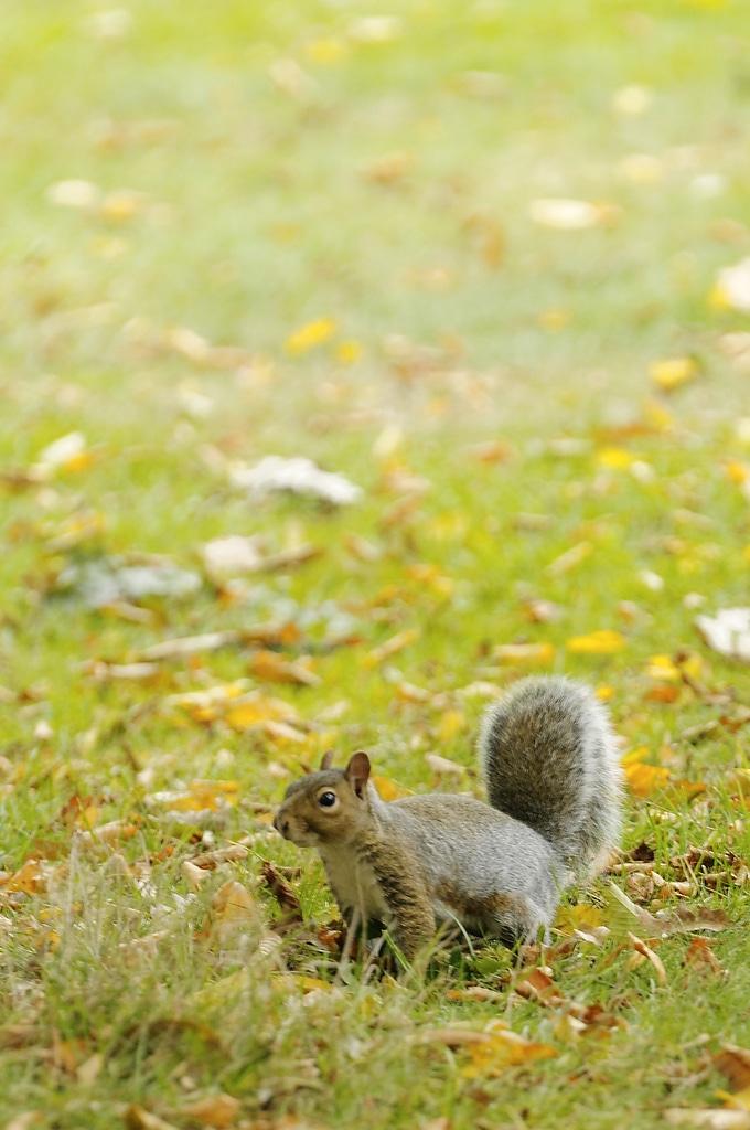 Ecureuil dans le park d'Hampstead