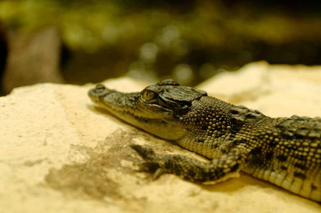 Bébé crocodile à l'aquarium de Sydney