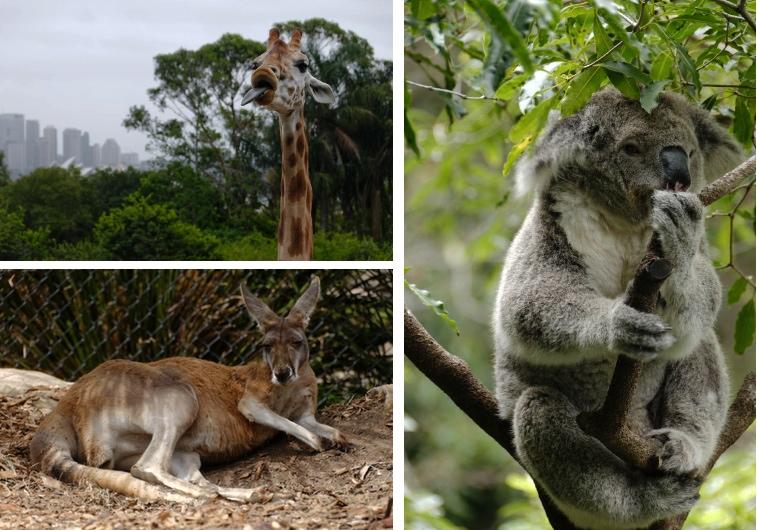 Girafe, koala et kangourou au Sydney Taranga Zoo