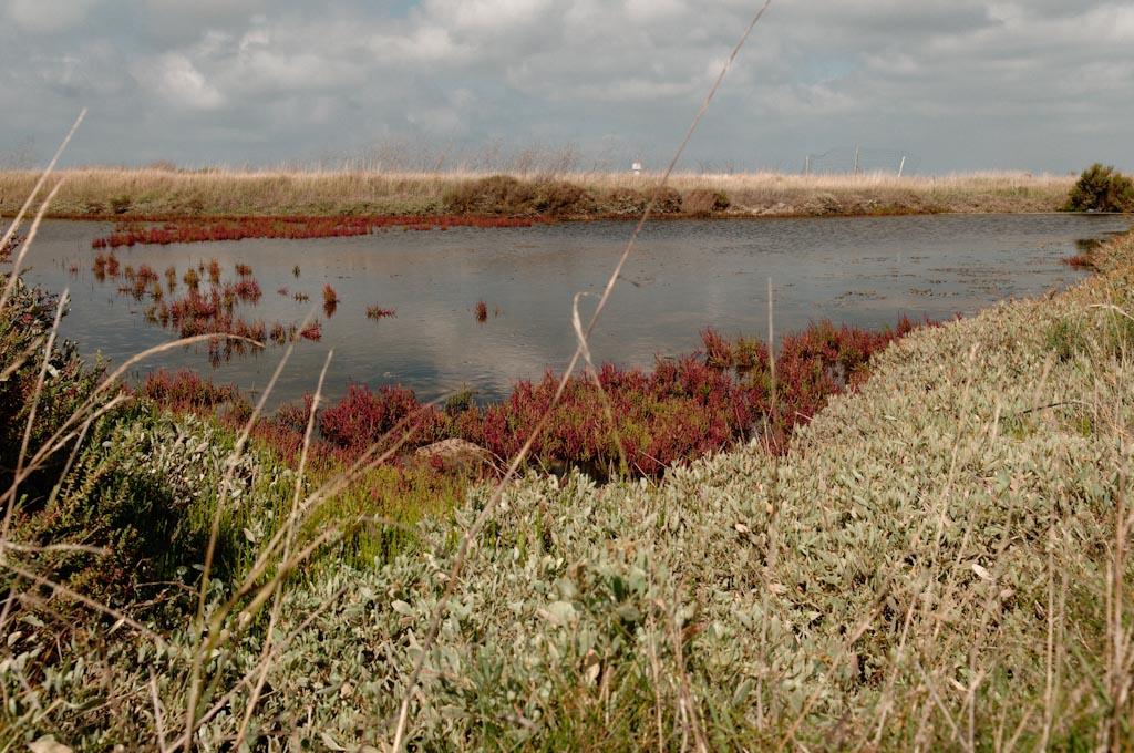 Salicorne dans les marais salants de Noirmoutier