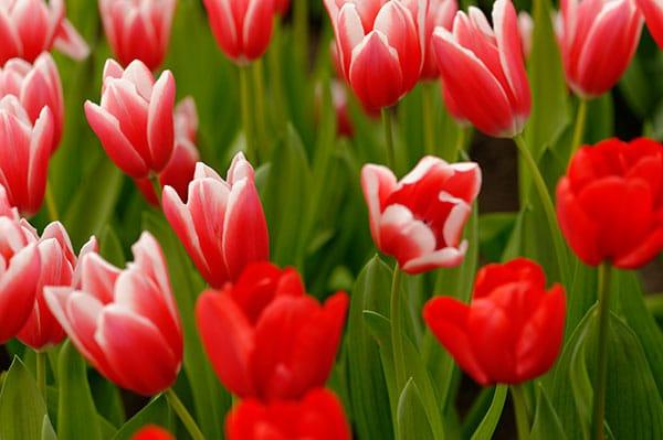 La tulipe : l'emblème des Pays Bas