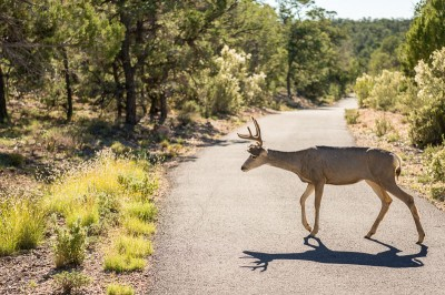 Mule Deer à Grand Canyon