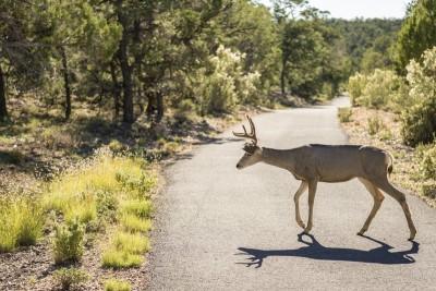 Mule Deer Grand Canyon National Park