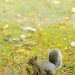 Ecureuil des parc londoniens