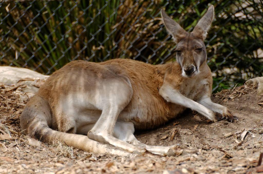 Les animaux en Australie