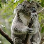 Koala Taranga zoo