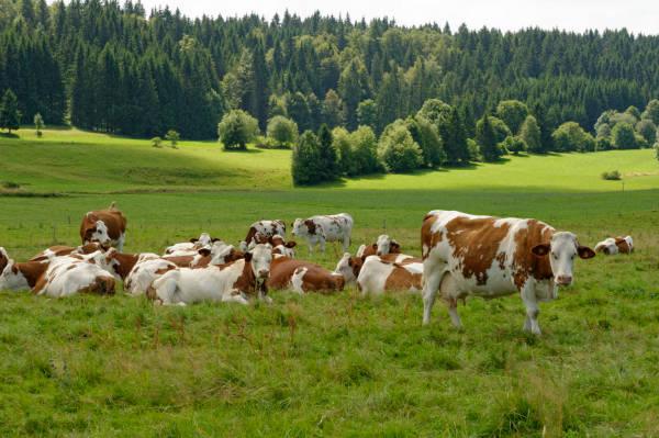 Vaches montbéliardes : à la source du Comté et du Mont d'Or