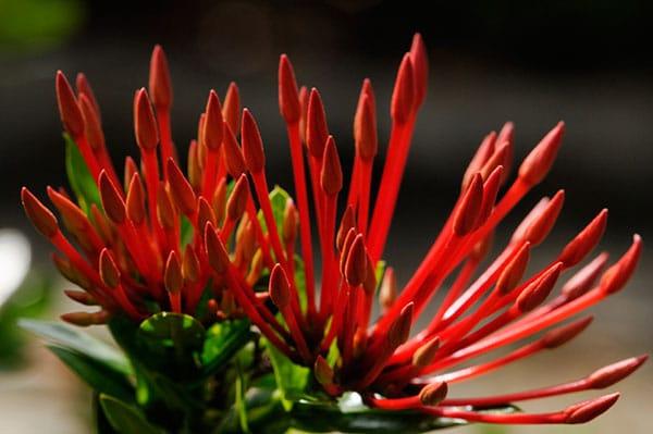 fleurs-fidji