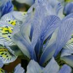 Iris du Keukenhof