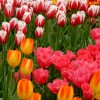 Tulipes du Keukenhof
