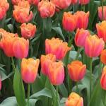 Tulipes d'Amsterdam