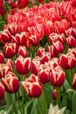 Visiter le parc floral du Keukenhof