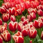 Tulipes au Keukenhof