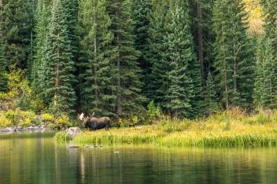 Moose croisé dans les Maroon Bells Colorado