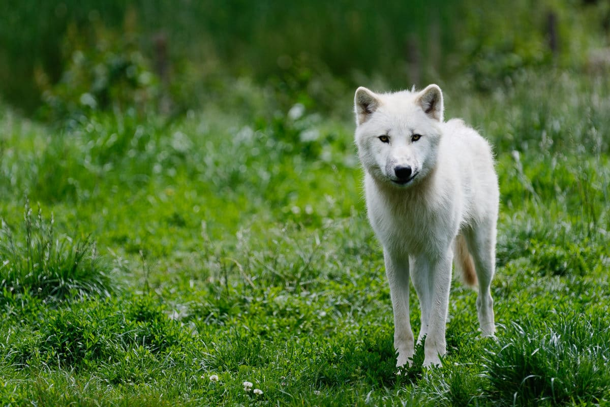 Loups au parc de Sainte-Croix